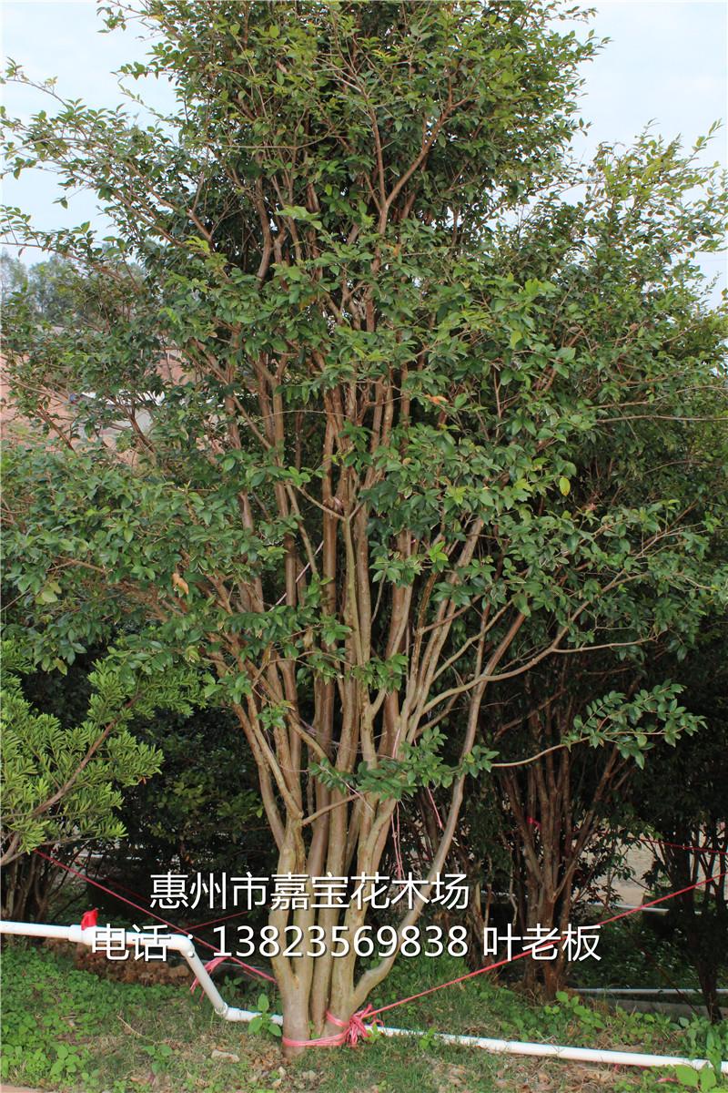 木材用,绿化美化环境,盆景,庭院园林观赏于一体的珍稀果树,一棵成年